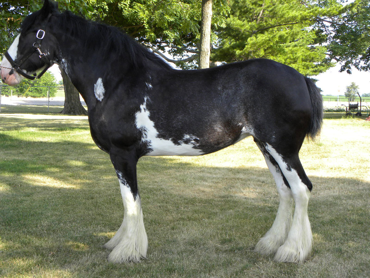 Wolf Mound Farms Moss Clydesdales
